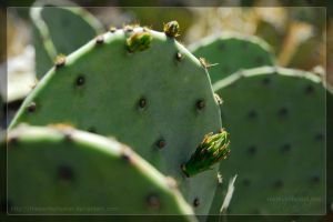 Prickly Pear by theperfectlestat