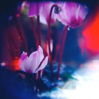 Cyclamen Dream II by MoiMM