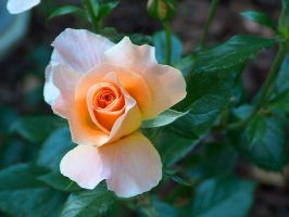 Sunset rose by Midnight--Comet