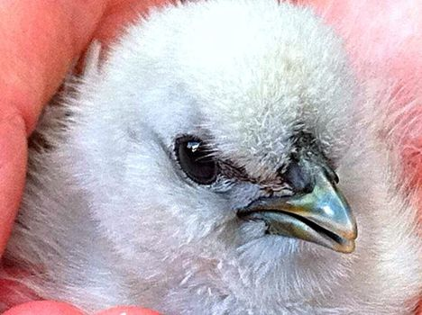 Baby Chick by Bobalily