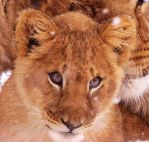 Lion Stock 36: Cub by HOTNStock