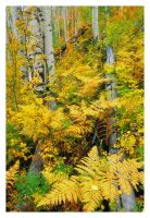 Aspen Stand Autumn by joerossbach