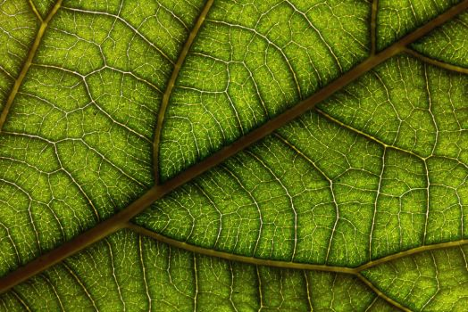 Avocado Leaf by Son-of-Incogneato