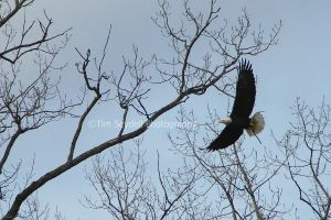 Bald Eagle in the Wild by timseydell