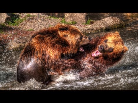 bear fight HDR by mtribal