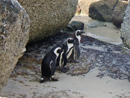 South African Penguins by Bunniesandsheep