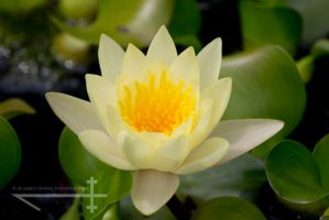 Lotus flower by scabbed-wings-photo