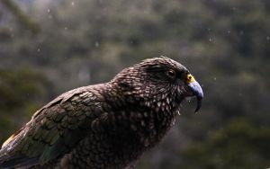 Kea in the Rain by Sirhenry91