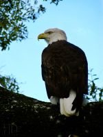 Proud Eagle by DaytonaBlue64Impala