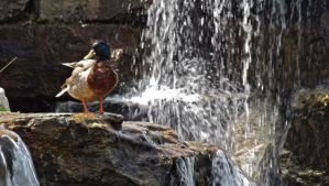 Waterfall Duck by Overclock45