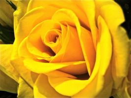 Yellow Rose by bluebunny7