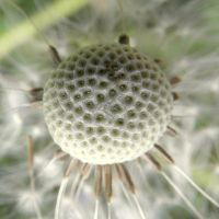 withered dandelion by Mittelfranke