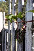 berries and fence three. by StillSouthern
