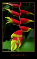 Heliconia by SilentMYSTIQUE