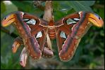 Atlas Moth by fayerman