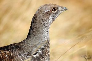 Blue Grouse by Korppi-Clicks