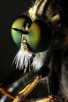 Portrait of a Fly III: Robber Fly by Nuuuk