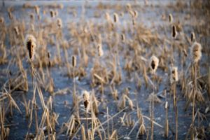 Bulrushes On Ice by Freacore