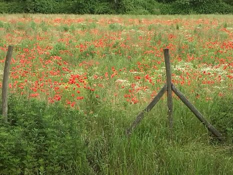 Poppies by Vanency
