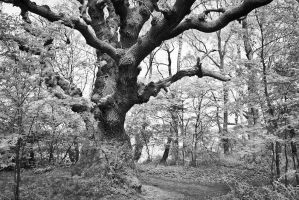 Old Oak Tree by pillendrehr