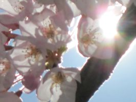 cherry blossoms in the sun by harry-potter-maniac