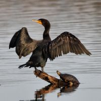 The Adoration of the Cormorant by JAHarrell