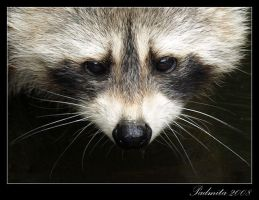 Portrait of a Racoon by pink-spike