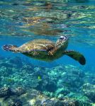 sea turtle by XpiccadillyXcircusX