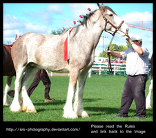 -clydesdale- :Stock: by SRS-Photography