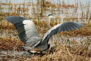GBH Showing Off by Kippenwolf