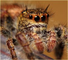 Phidippus princeps 2 by Blaklisted