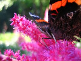Red Admiral Butterfly by darchiel