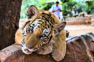 Tiger Temple by RachelsPetPortraits