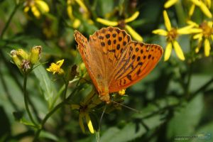 Butterfly by Puttee