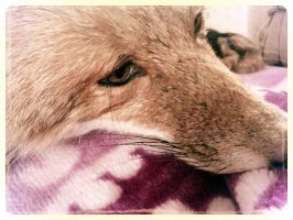 My Soft Mounted Fox by WCC Taxidermy 7 by DerpMuffin12
