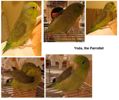 Enter - Yoda the Parrotlet by RBL-M1A2Tanker