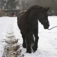 frisian mare in the snow by Nexu4