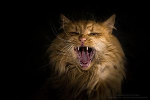 Like a lion by Sharone