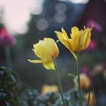 yellow tulips by ShamAnn366