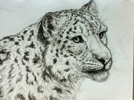 Snow leopard - portrait by Bisanti