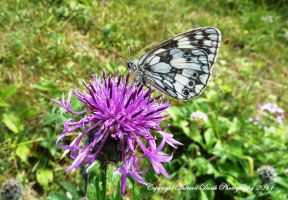 Marbled White. by AdrianDunk