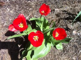 Red Tulips by WDWParksGal-Stock