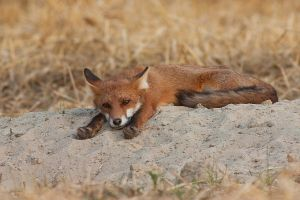 Lazy fox by JMrocek