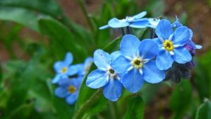 forget-me-not by Paul774
