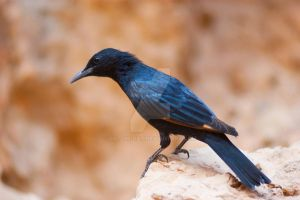 Tristram's Starling by rat-or-rat