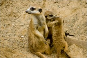 Meerkats by Vickithtoria