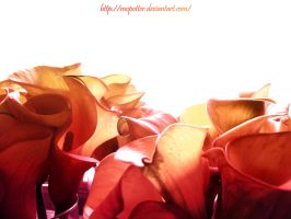 Tangerine Tulips by MoPotter