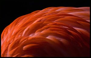 flamingo: like phoenix by morho