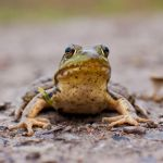 Bull Frog by asaph70