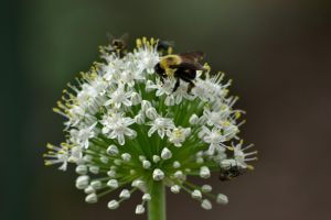 Carpenter Bee on an Onion Blossom by notneb82